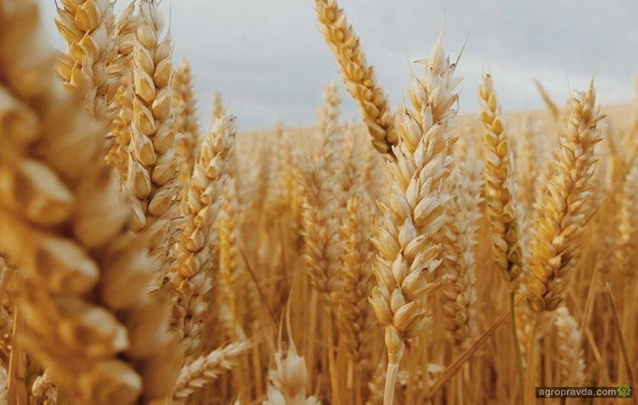 Тендер в Египте усилил давление на цены на пшеницу